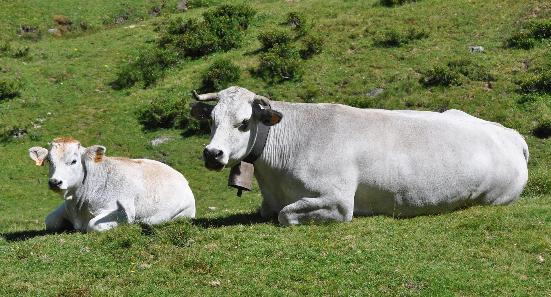 Vaches gasconnes